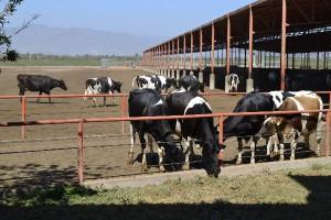 vaca interna 2